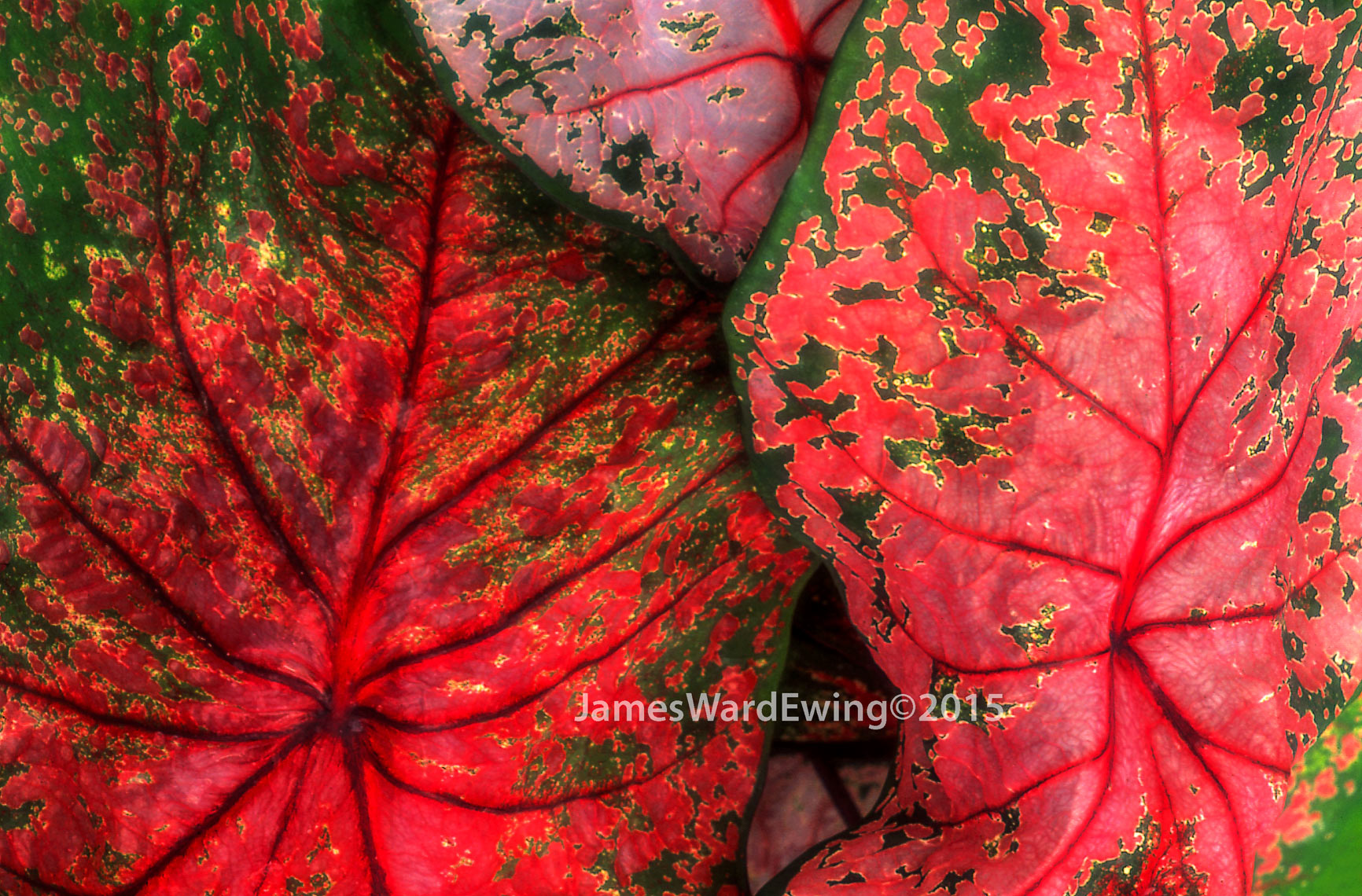 Red.Green-Leaves.Triangle